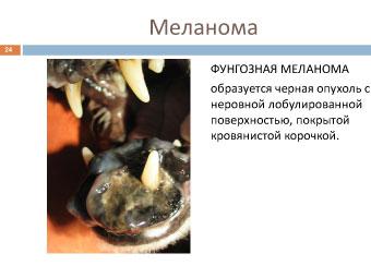 Фунгозная форма меланомы собаки