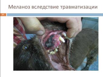 Меланома собаки: меланоз в результате травмы