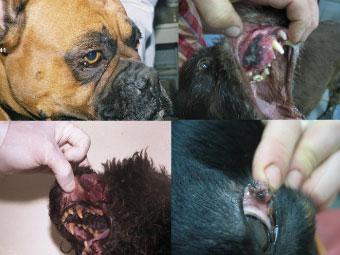 Меланома собаки: слизистые оболочки