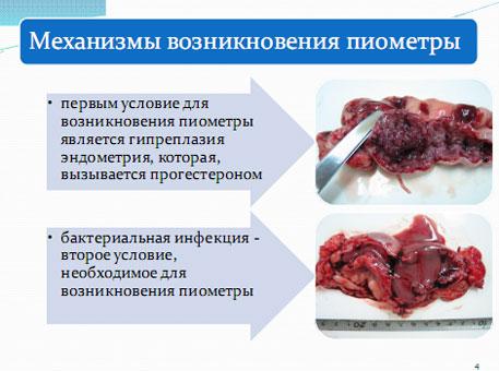 Слайд 4. Механизм развития пиометры у собак