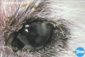 Сухой кератоконъюнктивит и вторичный бактериальный конъюнктивит у собаки