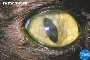 Множественные дендритные язвы роговицы у кошки