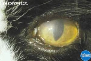 Хронический стромальный кератит при герпесвирусной инфекции у кошки