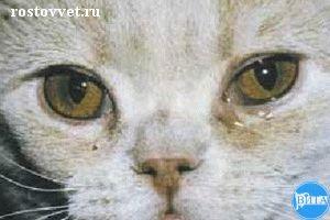 Блефароспазм и серозное истечение при хламидиозе у кошки