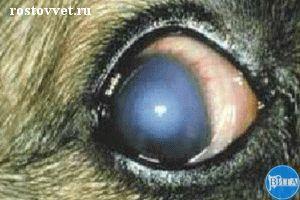 Острый передний увеит при аденовирозе у собаки