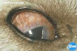 Конъюнктивальная и эписклеральная гиперемия при эрлихиозе у собаки