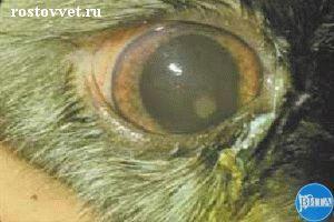 Передний увеит при инфекционном перитоните у кошки