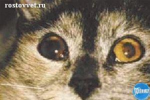 Двусторонняя гифема и передний увеит у кошки при вирусном лейкозе