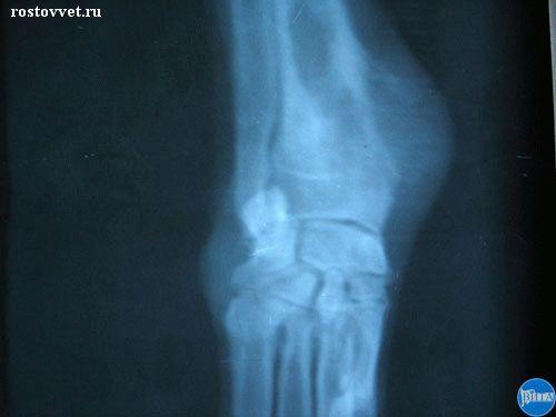 Остеосаркома нижней трети лучевой кости у собаки. Рентген.