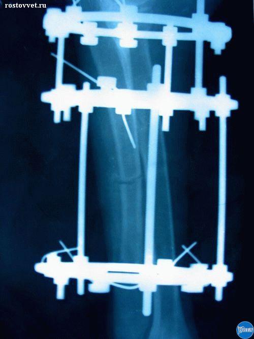 Остеотомия локтевой кости у собаки. Рентген