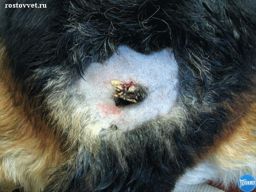 Плоскоклеточный рак у собаки: Макрофото