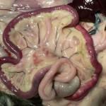 Коронавирусный энтерит у кошки: Макрофото кишечник