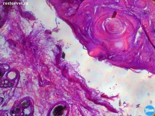 Плоскоклеточный рак у собаки: Гистология