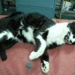 Коронавирусный энтерит у кошки: Макрофото вскрытие
