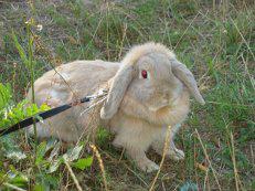 Рисунок 2. Вислоухий кролик.