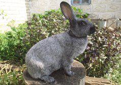 Рисунок 3. Серебристый кролик.