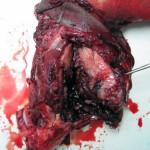 Остеосаркома у ротвейлера: Макрофото