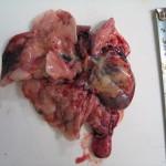 Рак яичника у кошки, метастазы в печени: Макрофото