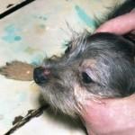 Плазмоцитома у собаки: Макрофото