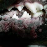 Вирусный папилломатоз у собаки