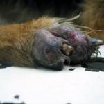 Остеосаркома и остеомиелит у немецкой овчарки: Макрофото