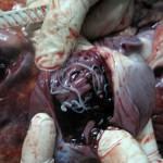 Дирофиляриоз. D. imitis в правом сердце у собаки
