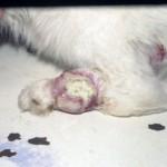 Альвеолярная рабдомиосаркома, липосаркома, параганглиома у кота на ноге: Макрофото