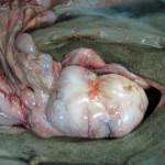 Опухоль кишечника, аденокарцинома у ротвейлера