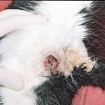 Опухоль молочной железы у кошки: Макрофото
