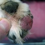 Базальноклеточный рак кожи у собаки: Макрофото