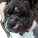 Мастоцитома на губе у собаки:Макрофото