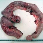 Мастоцитома кишечника у шарпея: Макрофото
