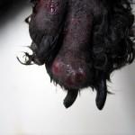 Плоскоклеточная карцинома на пальце у собаки: Макрофото