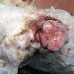 Опухоль молочной железы у суки: Макрофото