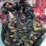 Меланома внутренних органов у мопса: ротовая полость