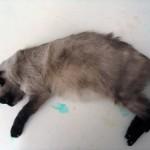 Рак яичника у кошки, метастазы в печени: Труп кошки