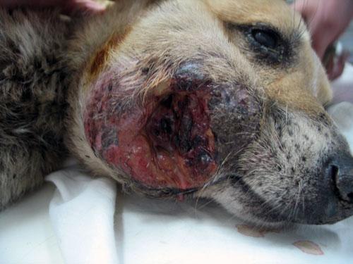 Мастоцитома щеки у собаки
