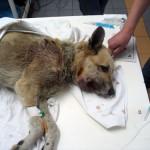 Опухоль щек у собаки (метис, 5 лет)