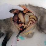 Рак яичника у кошки, метастазы в печени: Вскрытие