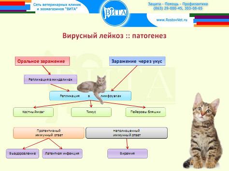 Развитие болезни. Лейкоз кошек