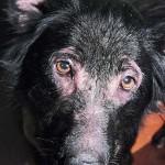Выпадение шерсти вследствие аллергии на корм у собаки