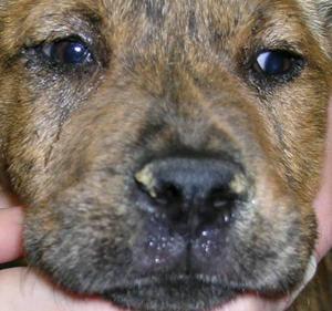 Парагрипп собак (Canine parainfluenza virus)