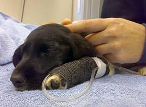 Респираторный аденовироз собак