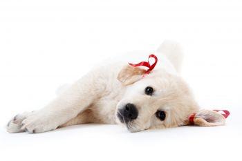 Боррелиоз собак (Болезнь Лайма)
