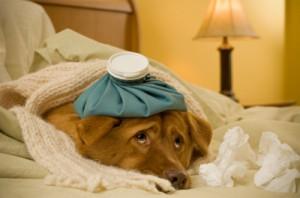коронавироз собак, коронавирусный энтерит, canine coronavirus, диарея у собаки, животных