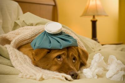 Коронавироз собак (Canine coronavirus)