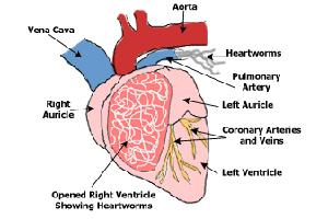 Дирофиляриоз собак, dirofilaria, immitis, repens, паразиты гельминты в сердце