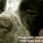 чума собак, Canine Distemper, чумка