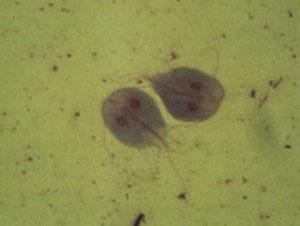 Giardia (лямблии)