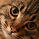 гемобартенеллез mycoplasma haemocanis haemofelis микоплазмоз кошек собак